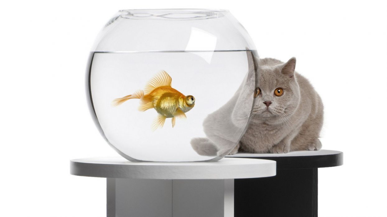 cats animals fish goldfish fish tank wallpaper