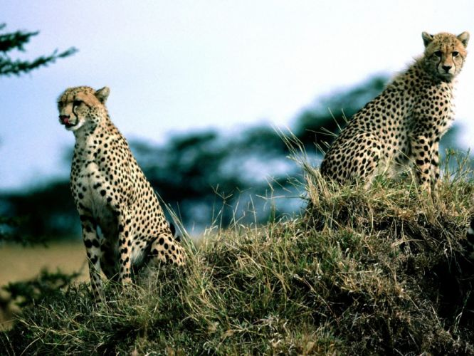 nature animals panthers speed wallpaper