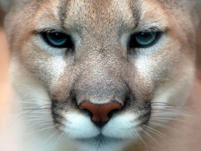 close-up animals puma wallpaper
