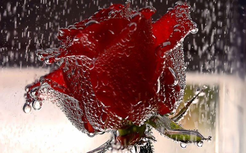 rain roses wallpaper