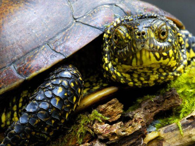 turtles reptiles wallpaper