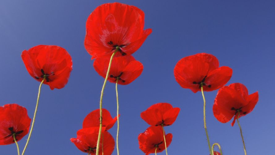 red flowers Germany opium poppy wallpaper