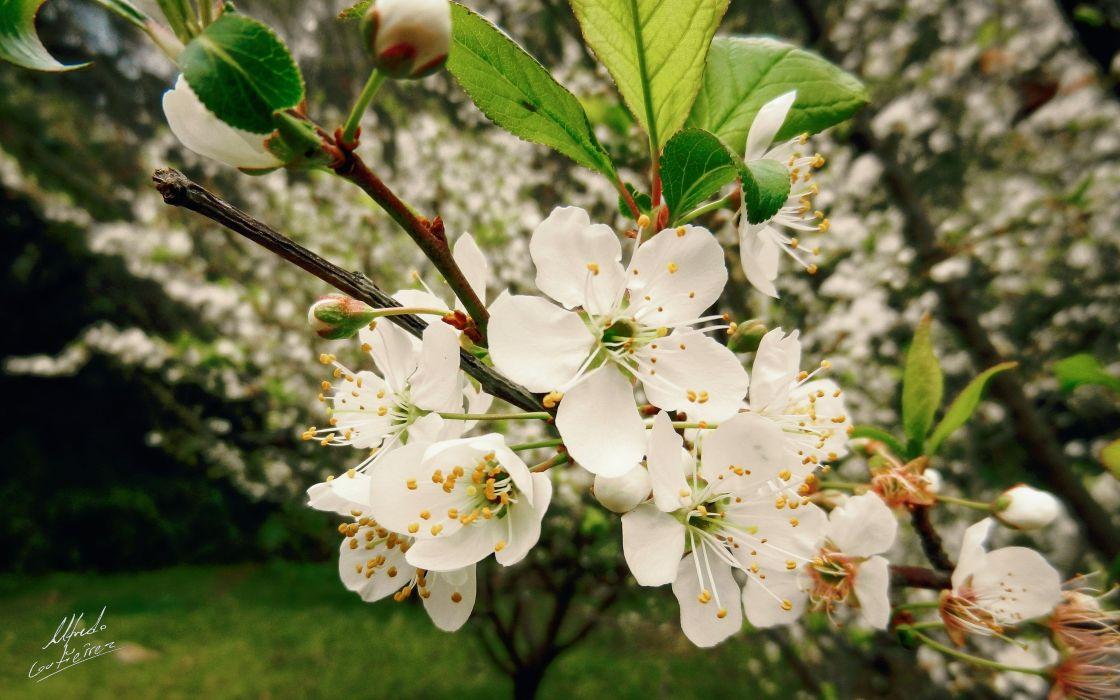 blossoms Blossom Plum wallpaper
