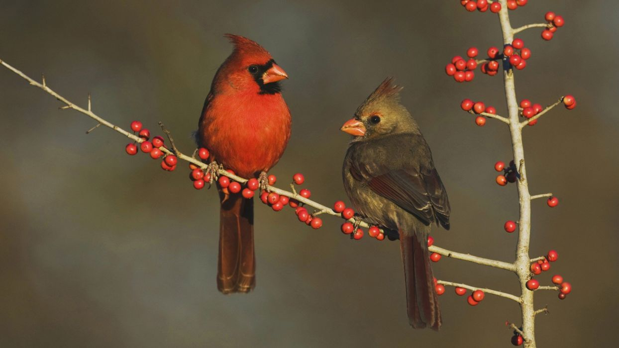 Country Texas cardinal berries eating wallpaper