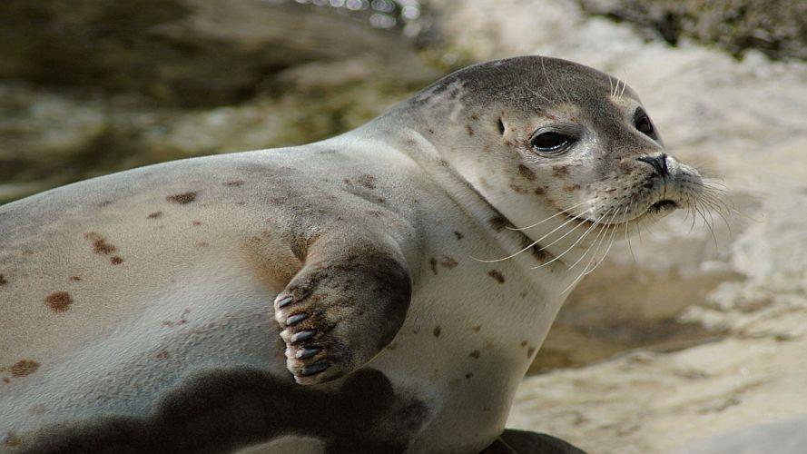 sea lions seal seals lion (22) wallpaper