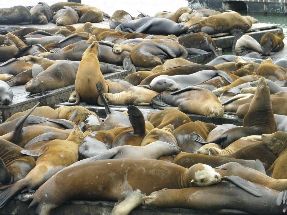 sea lions seal seals lion (10)_JPG wallpaper