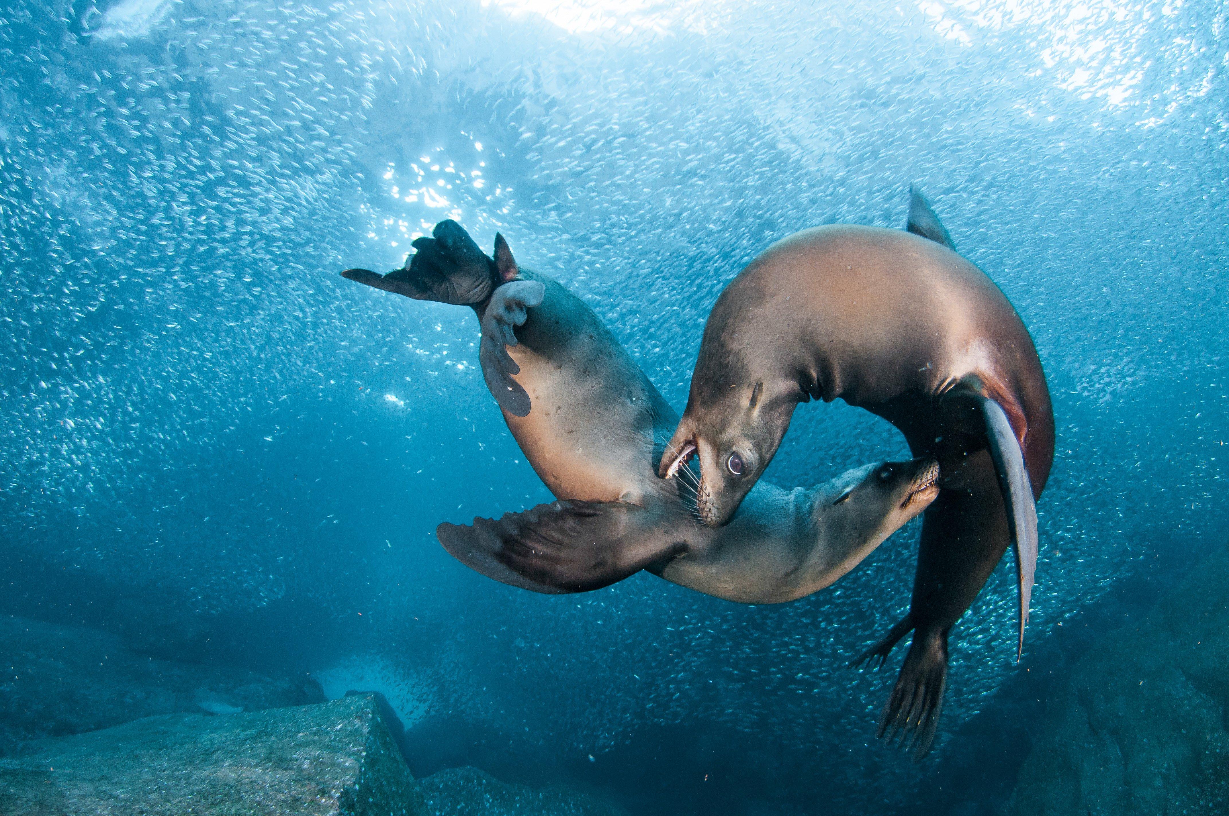 Sea lions seal seals lion (15) wallpaper   4288x2848 ...