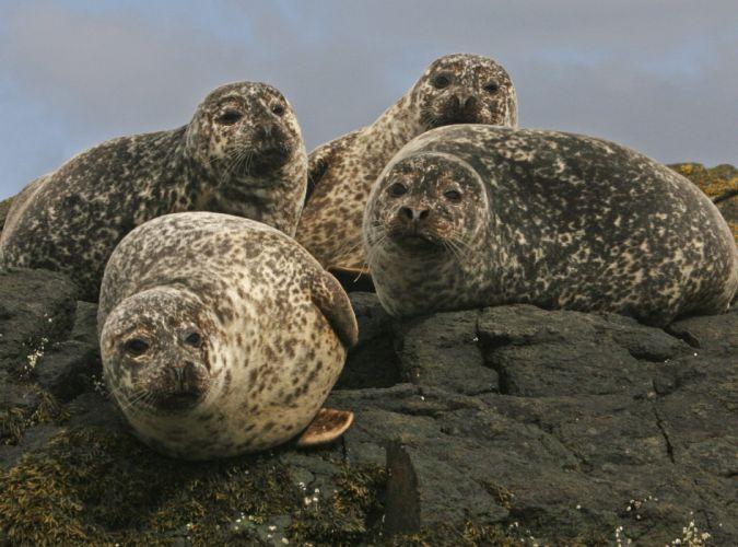 sea lions seal seals lion (5) wallpaper