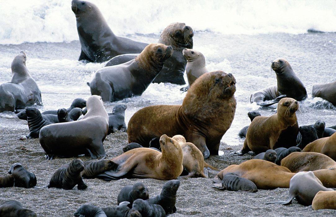 sea lions seal seals lion (43) wallpaper
