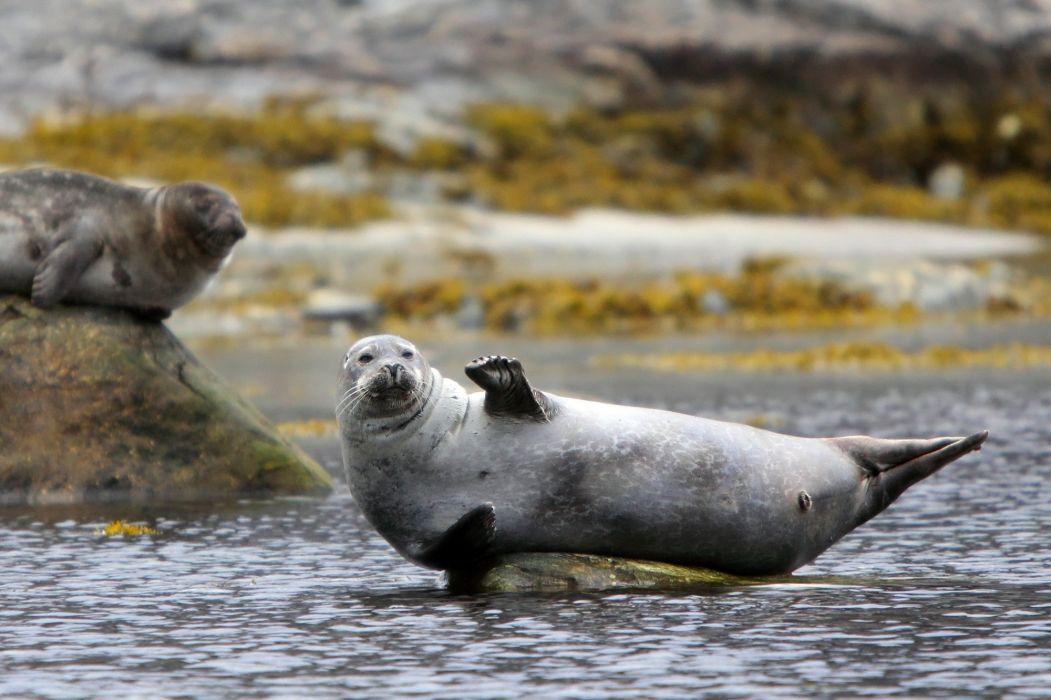 sea lions seal seals lion (41)_JPG wallpaper