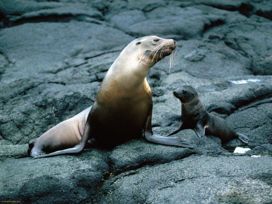 sea lions seal seals lion (38) wallpaper