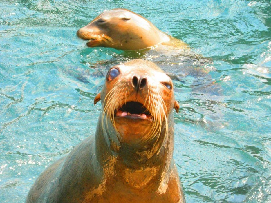 sea lions seal seals lion (31) wallpaper