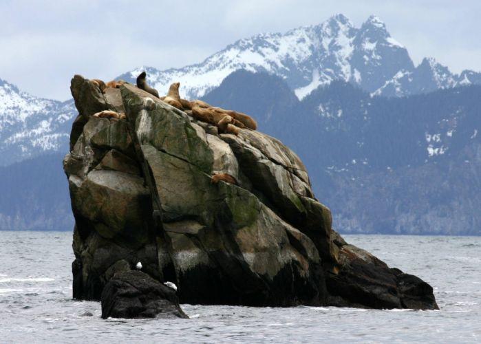 sea lions seal seals lion (32) wallpaper