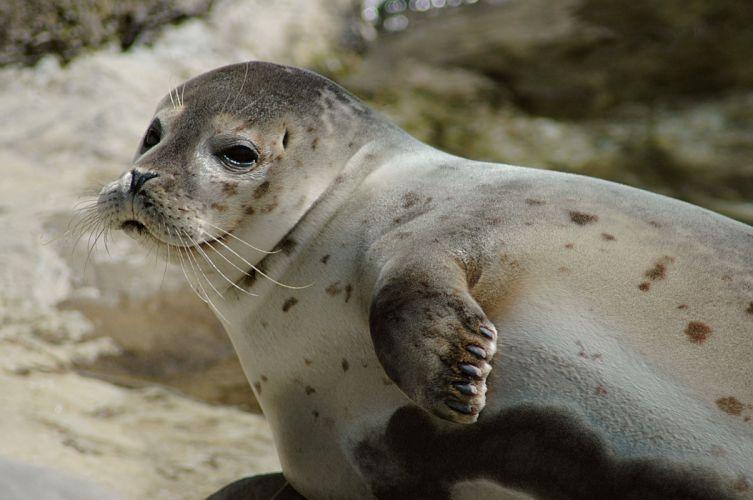 sea lions seal seals lion (30) wallpaper