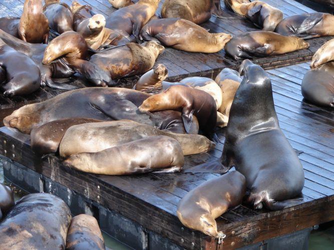 sea lions seal seals lion (27) wallpaper