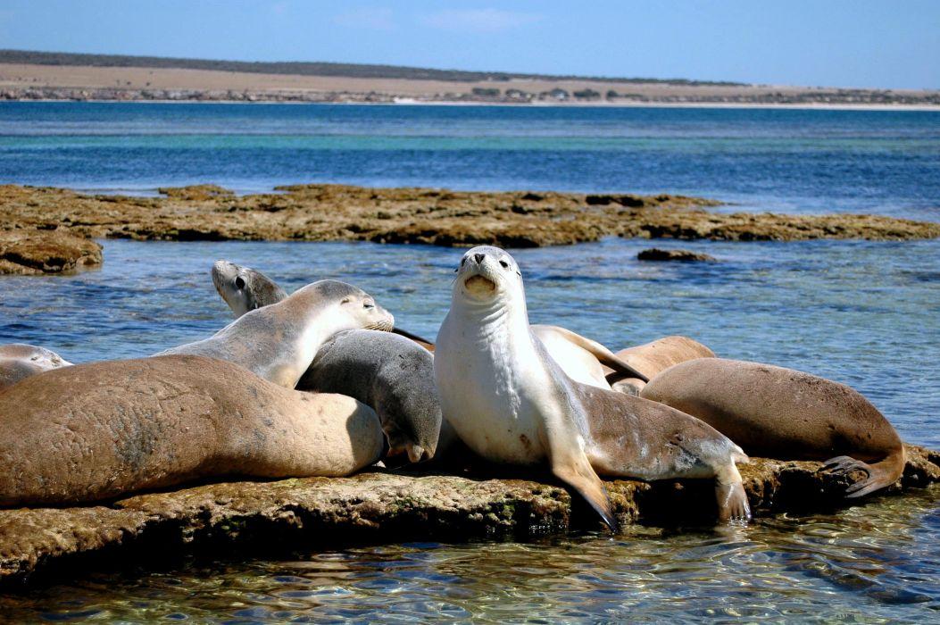 sea lions seal seals lion (26) wallpaper