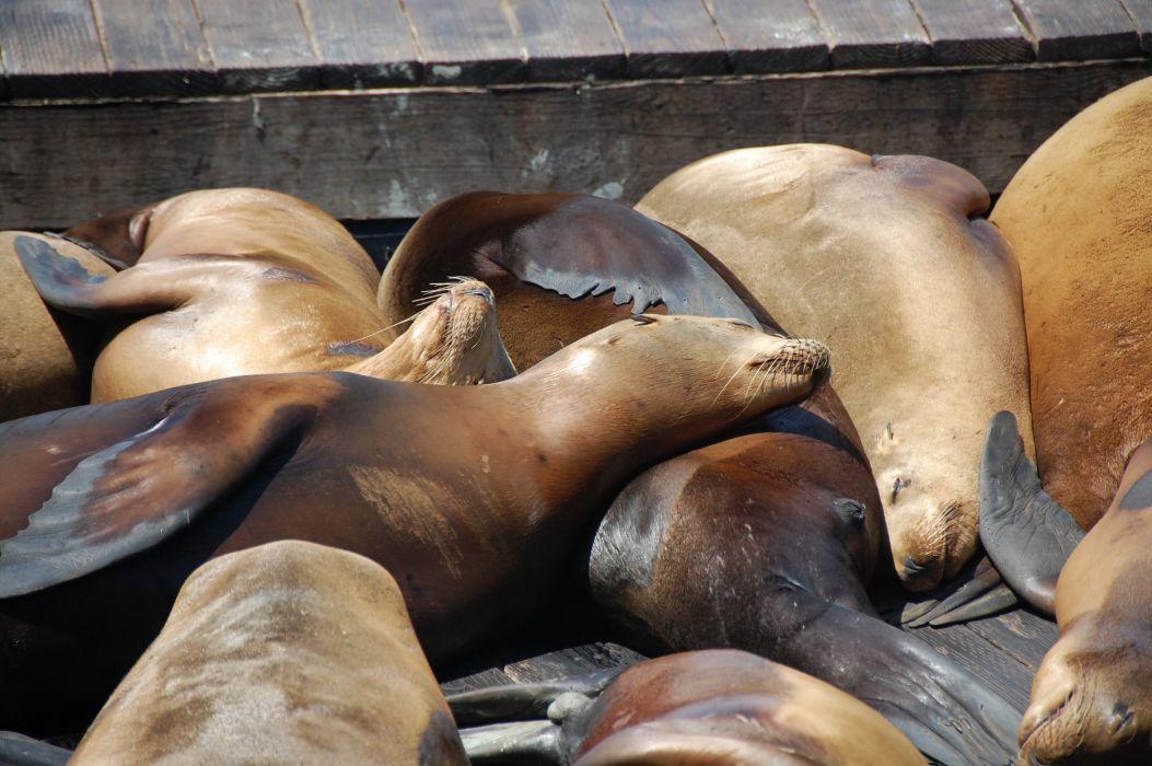 sea lions seal seals lion (25) wallpaper