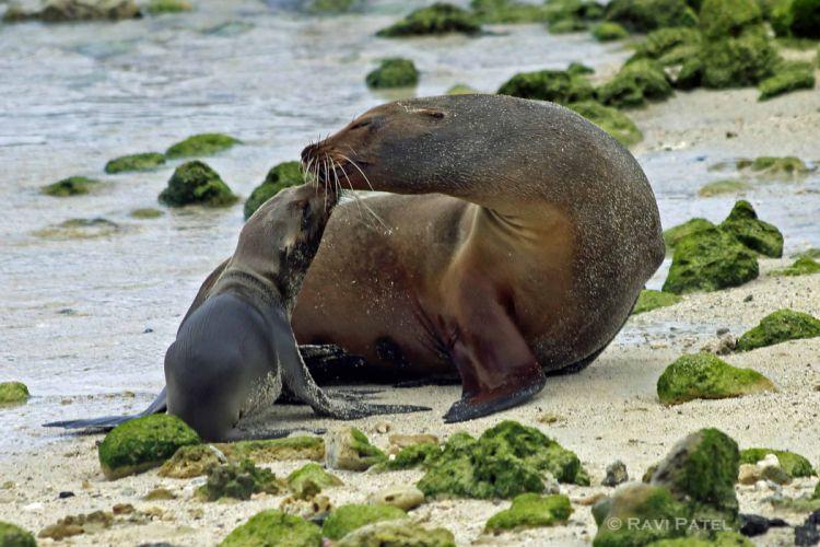 sea lions seal seals lion (54) wallpaper