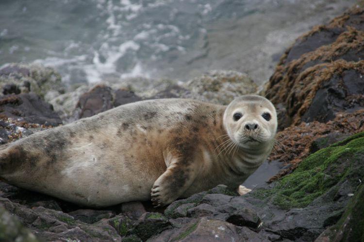 sea lions seal seals lion (50) wallpaper