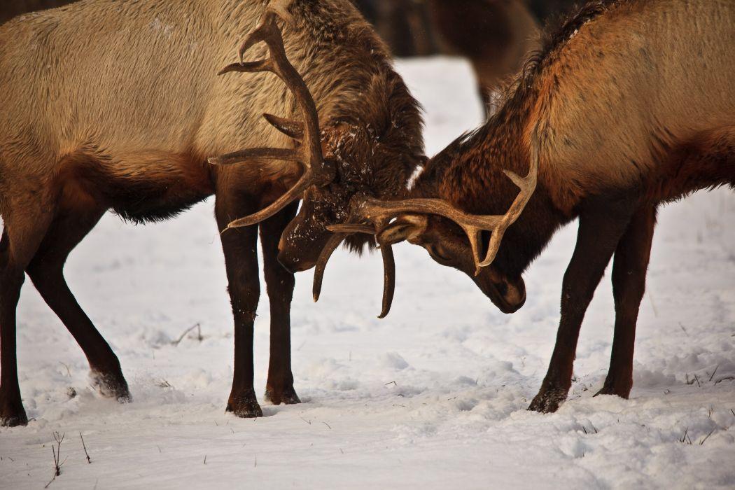 bull elk elks deer (2) wallpaper