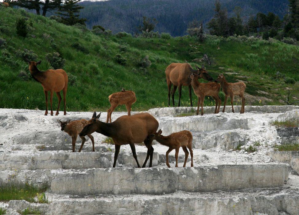 bull elk elks deer (20) wallpaper