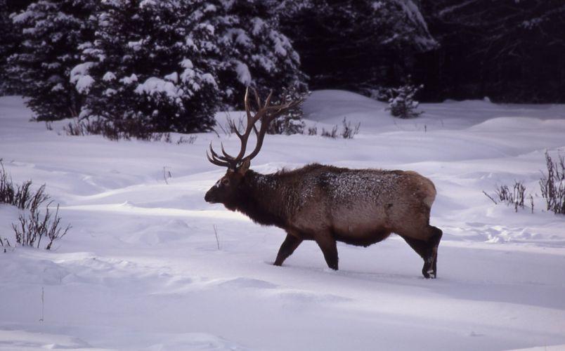 bull elk elks deer (41) wallpaper