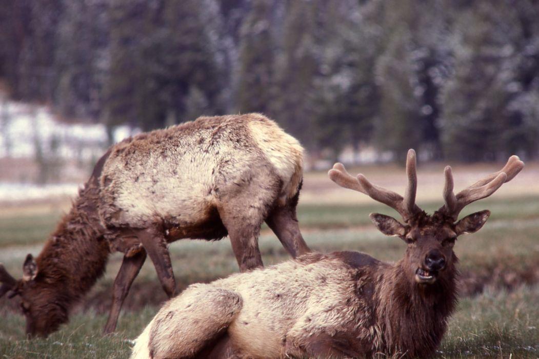 bull elk elks deer (39) wallpaper