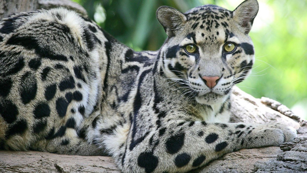 animals leopards clouded leopards wallpaper