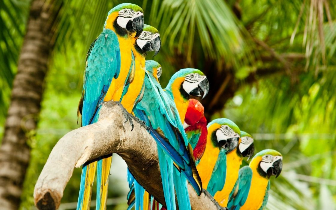 nature parrots Scarlet Macaws Blue-and-yellow Macaws wallpaper