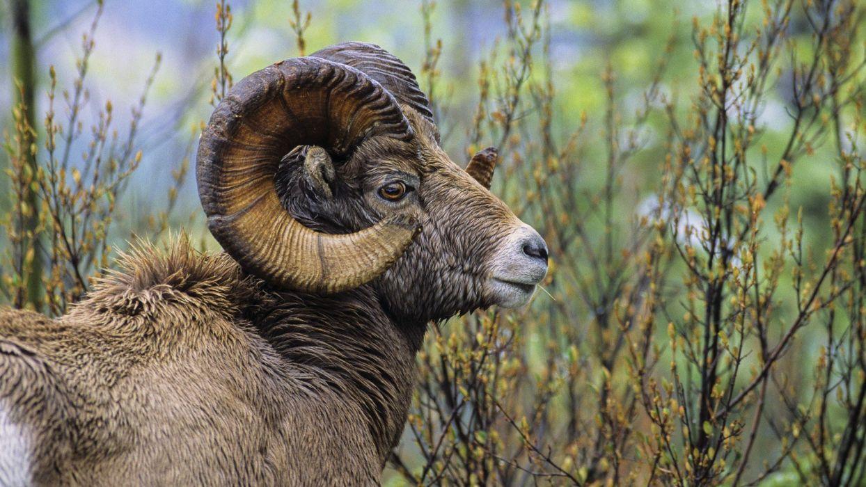 sheep British Columbia ram wallpaper