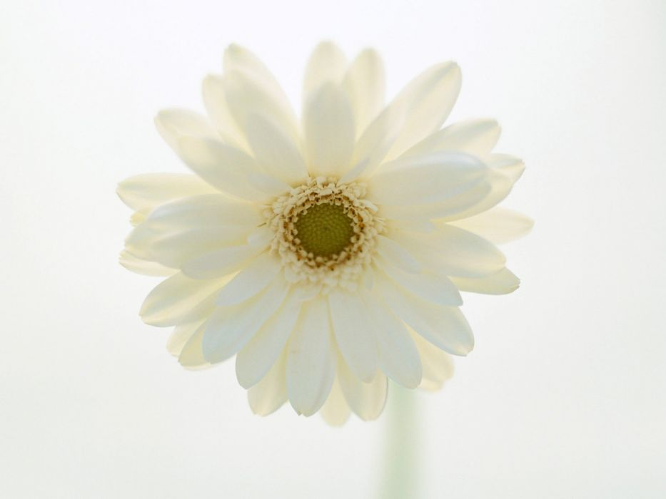 flowers Beyaz wallpaper