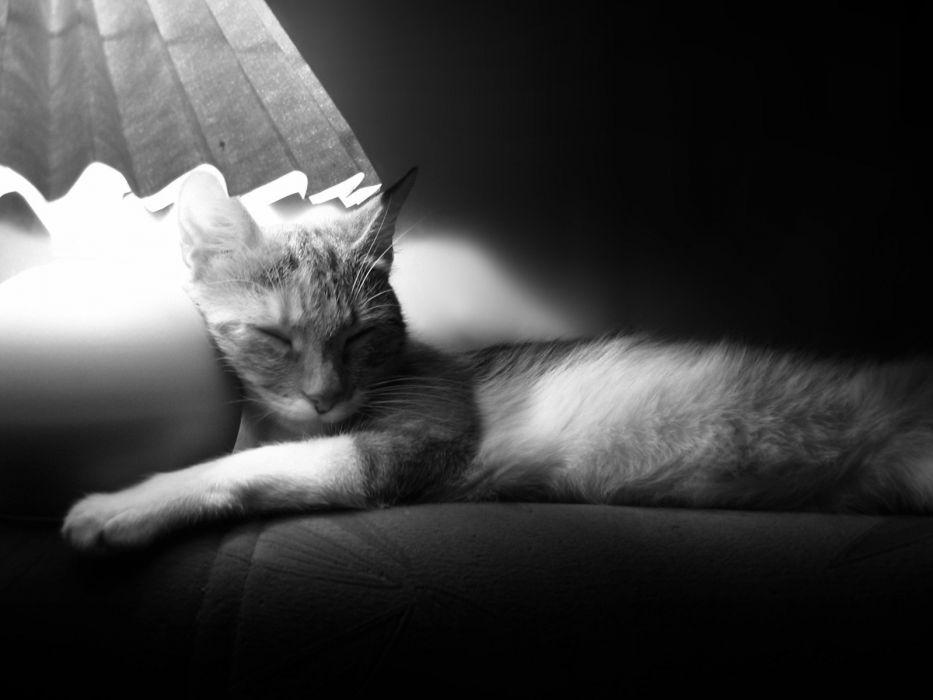 cats animals sleeping monochrome pets wallpaper