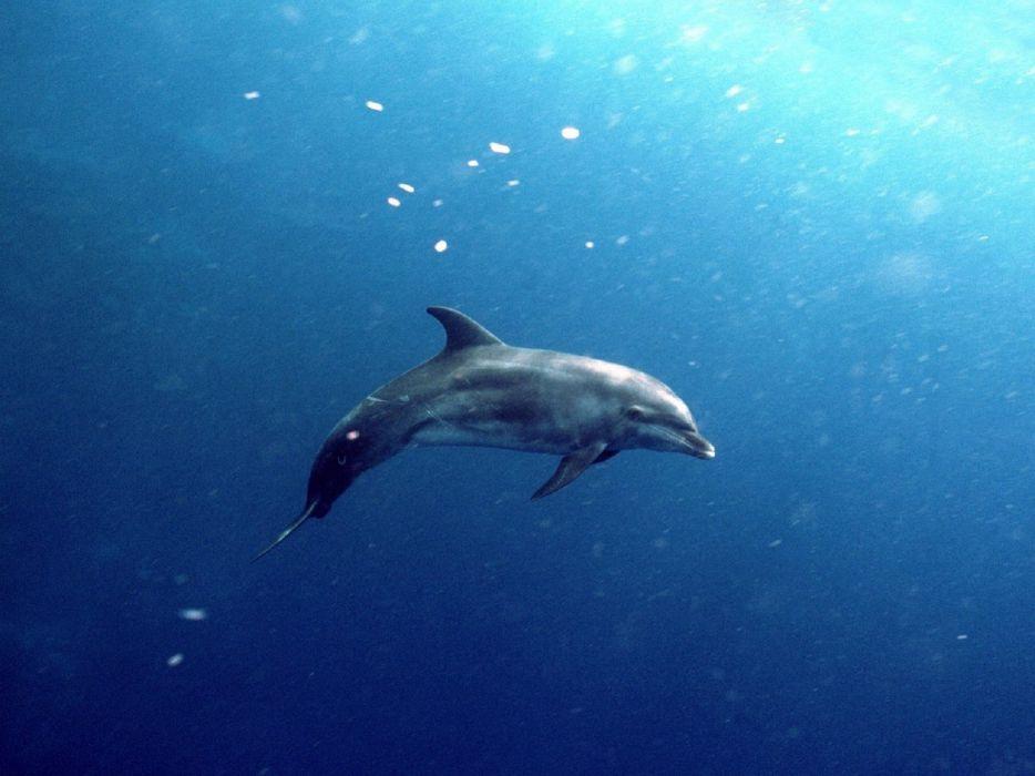 animals dolphins wallpaper