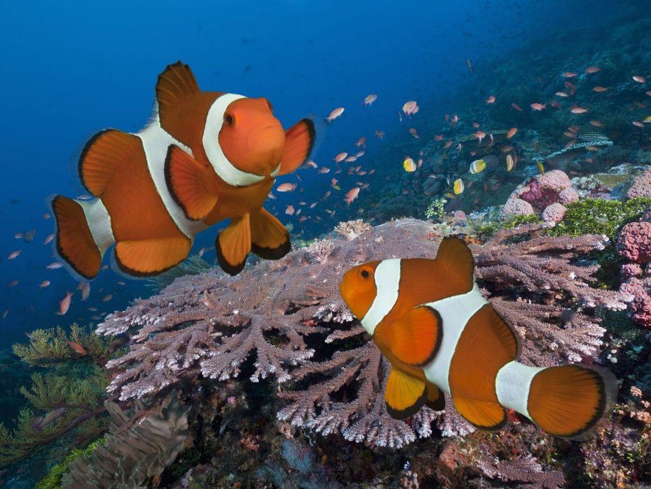 Indonesia clownfish pair wallpaper