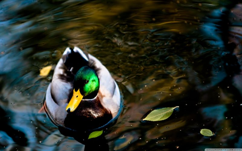 wildlife ducks lakes mallard wallpaper