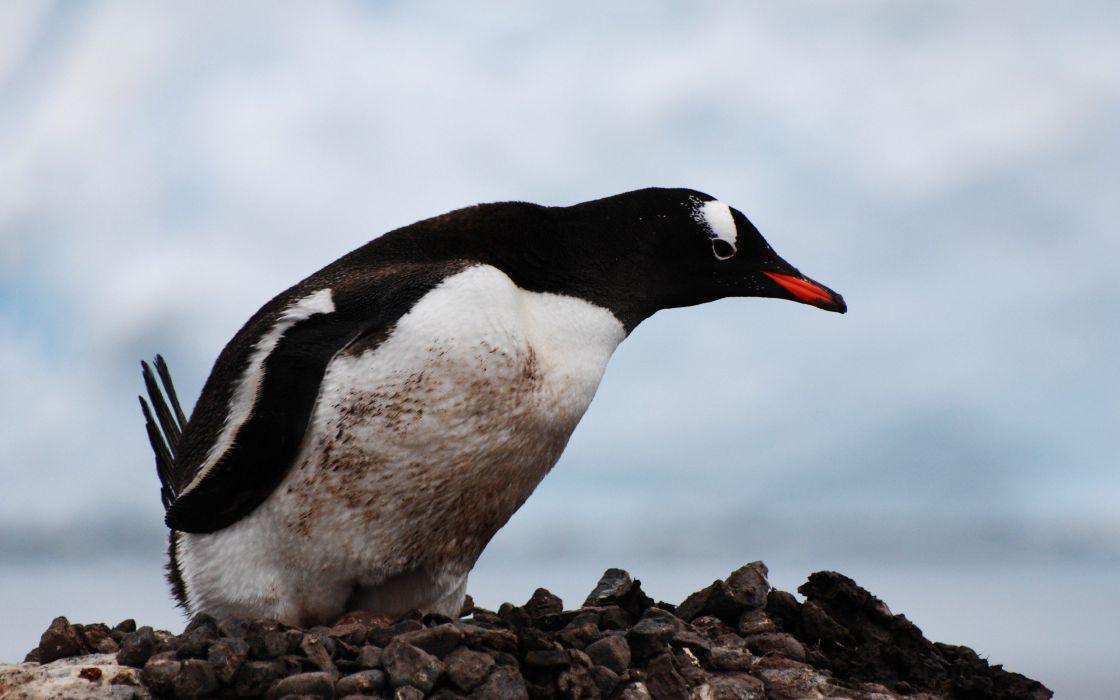 birds penguins wallpaper