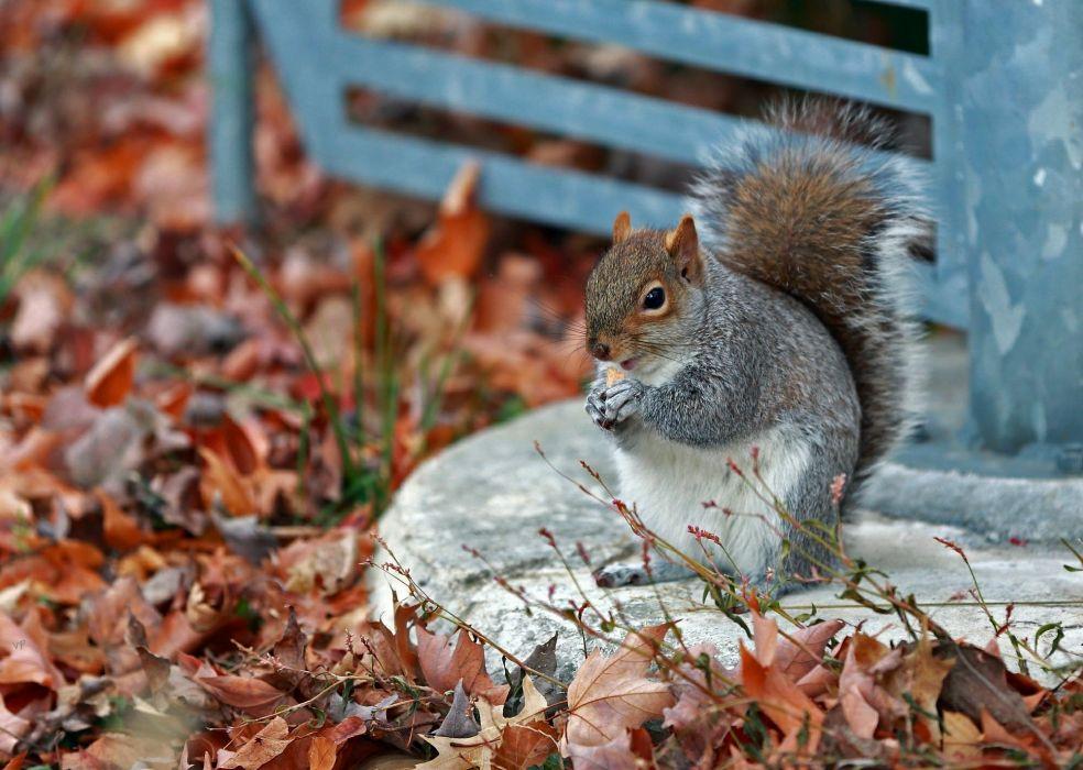 autumn park squirrel grass leaves wallpaper