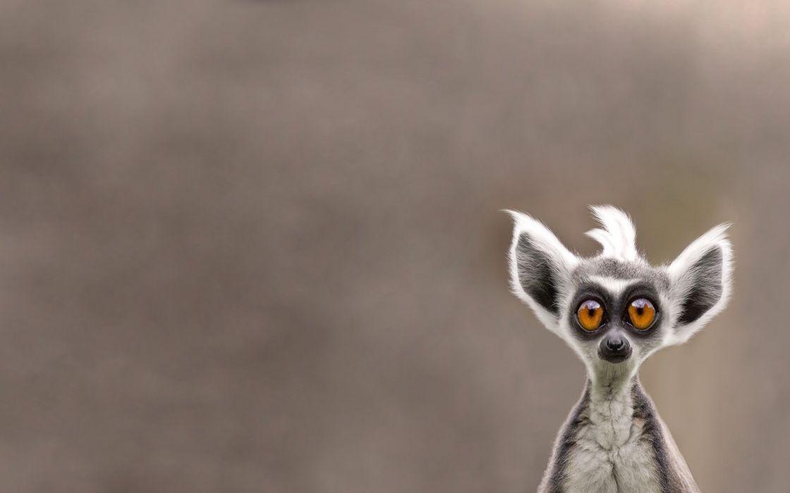 animal snout lemur cute eyes humor funny wallpaper