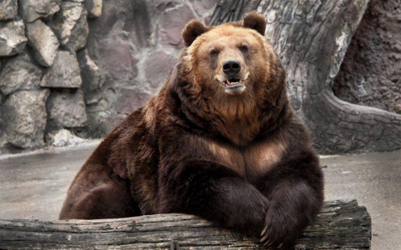 bear zoo nature wallpaper