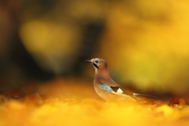bird yellow autumn leaves fallen wallpaper