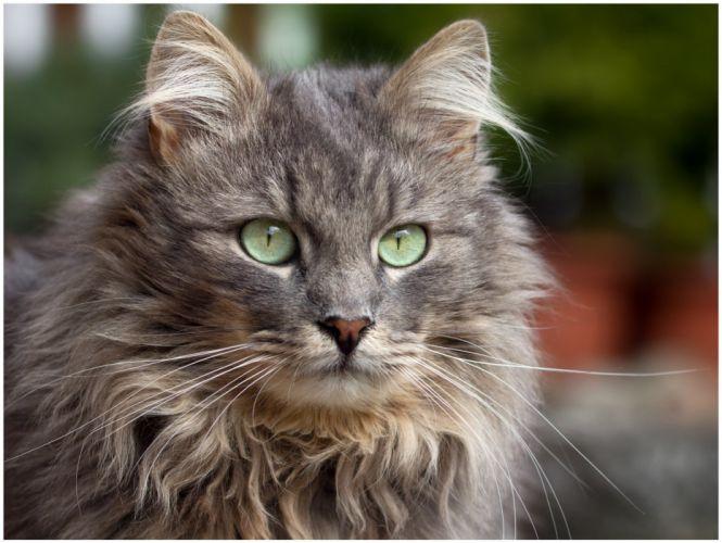 cat gray furry green eyes wallpaper