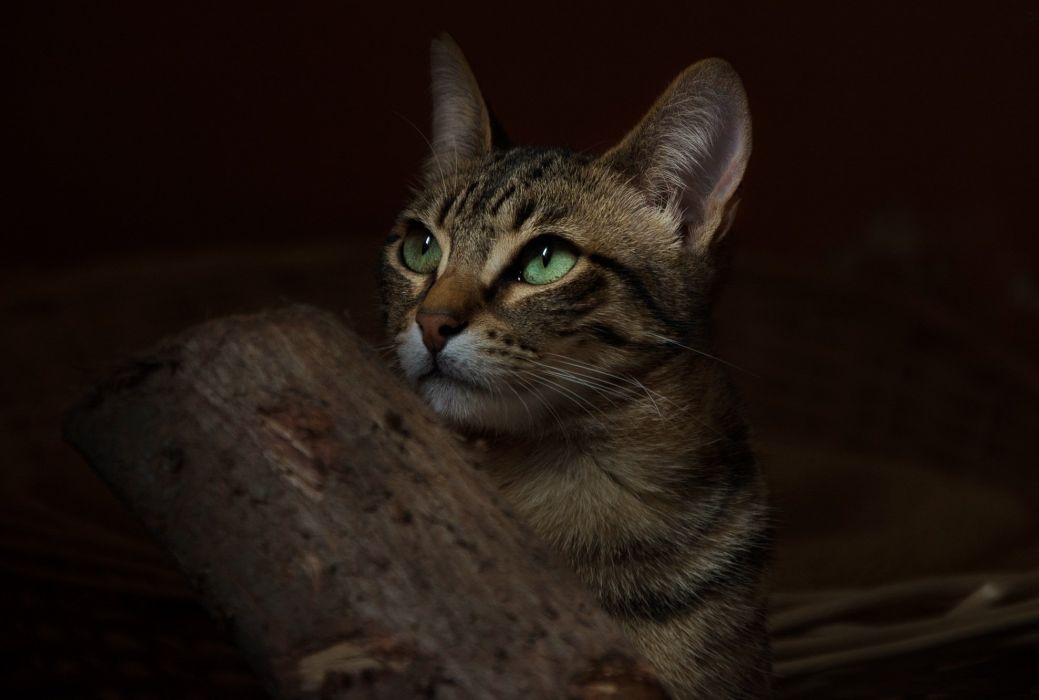 cat animal green eyes wallpaper
