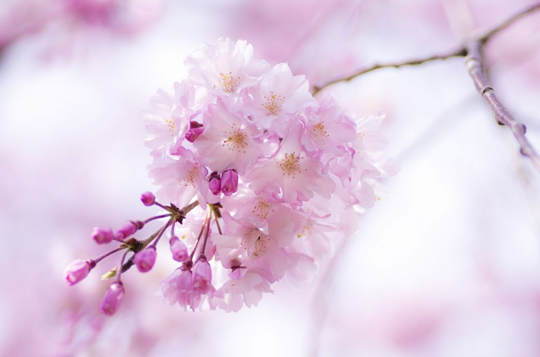 cherry branch flowers pink spring bloom close-up blossoms wallpaper