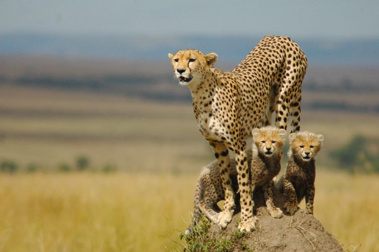 cheetah kitten baby wallpaper