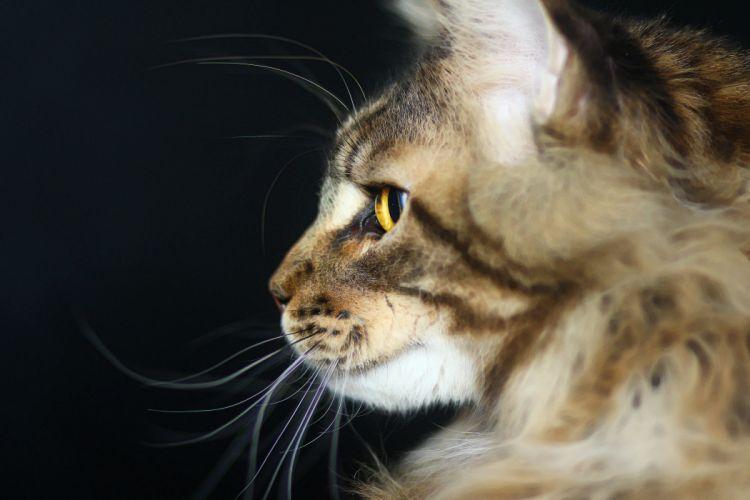 cat predator Maine coon wallpaper