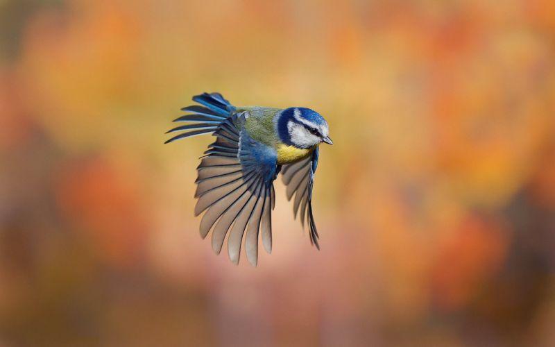 flight tit rozmytost bird wallpaper