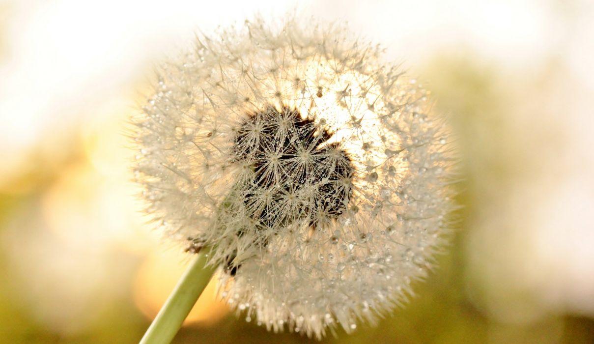 flower dandelion macro dew drops wallpaper