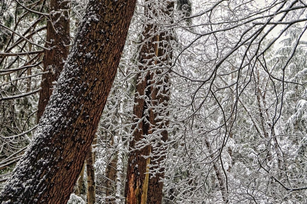 forest trees branches trunks snow winter wallpaper
