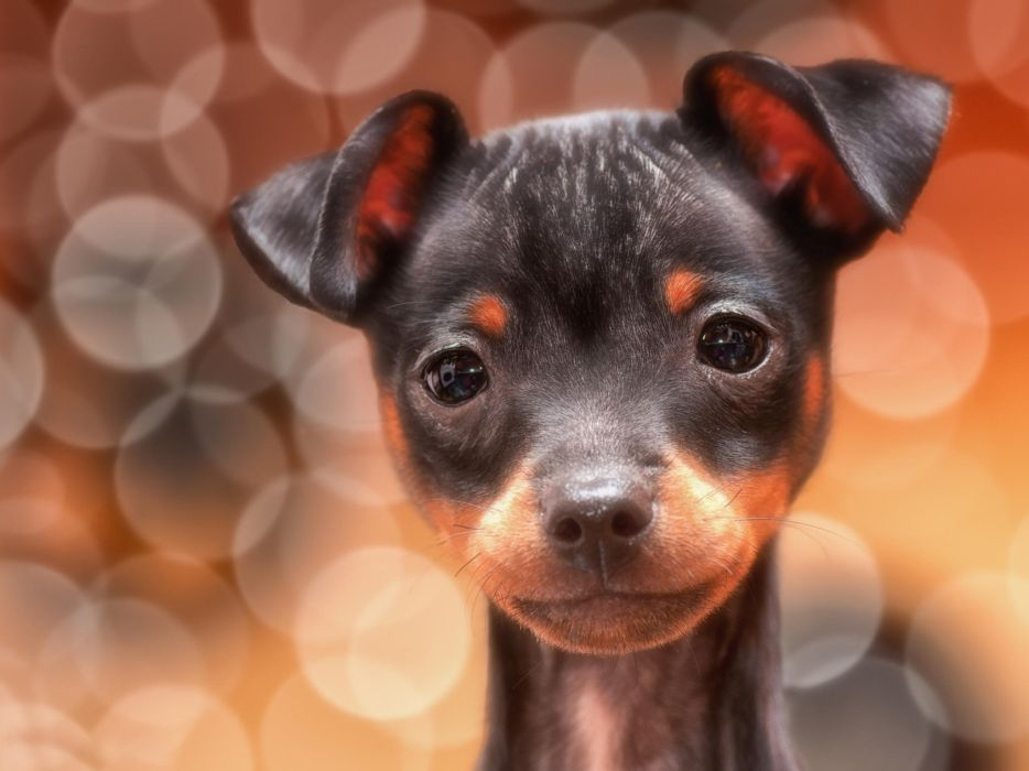 glare look one ears dog puppy wallpaper