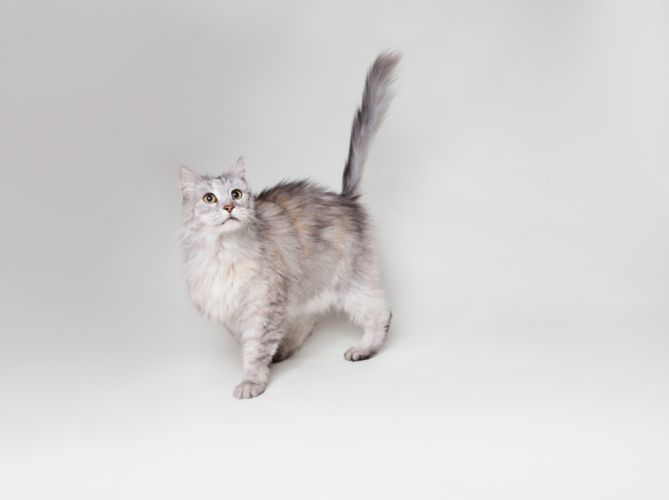 Maine Coon cat gray wallpaper